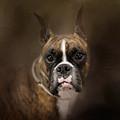 Curious Boxer by Jai Johnson