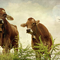 Curious Cows by Annie Snel