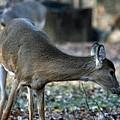 Curious Deer by Lana Raffensperger