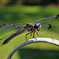 Curious Dragonfly by Kenneth Albin