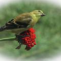 Curious Finch by Ola Allen