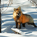 Curious Fox by Todd Klassy
