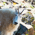 Curious Goat On The Mount Massive Summit by Steve Krull