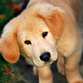 Curious Golden Retriever Pup by Christina Rollo