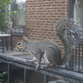 Curious Gray Squirrel  by Kathryn Jinae