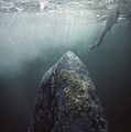 Curious Gray Whale And Tourist by Tui De Roy