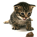 Curious  Kitten by Yedidya yos mizrachi