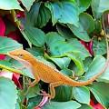 Curious Lizard by Carol Fannaly