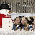 Curious Piglets And Snowman by Jean-Louis Klein & Marie-Luce Hubert