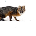 Curious Red Fox In Snow by Douglas Barnett