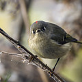 Curious Ruby-crowned Kinglet by Liza Eckardt