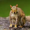 Curious Squirrel by Mirko Chianucci