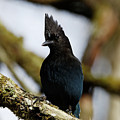 Curious Stellers Jay by Sue Harper