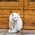Curious White Cat  by Sally Weigand