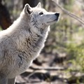 Curious Wolf by Anthony Sacco