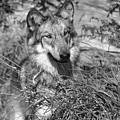 Curious Wolf Pup by Shari Jardina