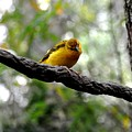 Curious Yellow Warbler by John Black