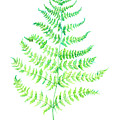 Curly Fern by Carly Norman