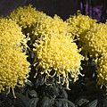 Curly Mums by Sally Weigand
