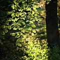 Curtain Of Leaves by Daniel Heine