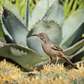 Curve-billed Thrasher-img_814418 by Rosemary Woods-Desert Rose Images