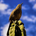 Curved Billed Thrasher by Jon Burch Photography