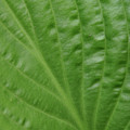 Curvy Leaf Lines by Karol Livote