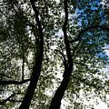 Curvy Trees by Karol Livote