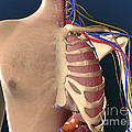 Cutaway View Of Male Chest Showing Lung by Stocktrek Images