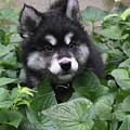 Cute Alusky Puppy In A Bunch Of Plant Foliage by DejaVu Designs