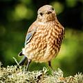 Cute Bluebird Adolescent by Jean Noren