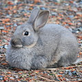 Cute Campground Rabbit by Carol Groenen