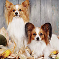 cute couple dogs breed papillon by Iuliia Malivanchuk  by Iuliia Malivanchuk