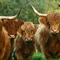 Cute Fluffy Cows by Angel Ciesniarska
