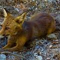 Cute Fox Friend  by Colette V Hera Guggenheim