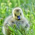 Cute Goose Chick by Jeramey Lende