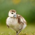 Cute Gosling by Roeselien Raimond