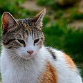 Cute Grey White And Orange Cat Poses And Gazes by Imran Ahmed