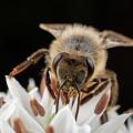 Cute Honey Bee 2 by Brian Hale