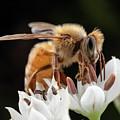 Cute Honey Bee by Brian Hale