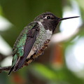 Cute Hummingbird Ready For Action by Carol Groenen