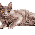 Cute Kitten Laying Over White Loking Forward by Susan Schmitz
