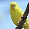 Cute Little Yellow Budgie Bird In Nature by DejaVu Designs