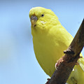 Cute Little Yellow Parakeet In The Rainforest by DejaVu Designs