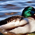 Cute Male Mallard Duck by Artpics