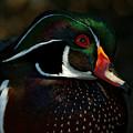 Cute Male Wood Duck by Sue Harper