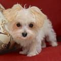 Cute Maltipoo by Carol Groenen