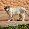Cute Mexican Kitty by Phyllis Kaltenbach