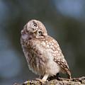 Cute, Moi? - Baby Little Owl by Roeselien Raimond