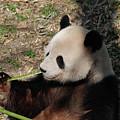 Cute Panda Bear Eating A Green Shoot Of Bamboo by DejaVu Designs